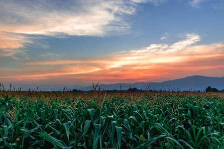 The sun sets of Corn farm in Thailand.