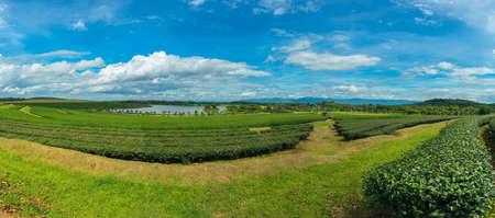 sencha: Tea Plantation Farm Bunrod panoramic of chiang Rai,Thailand