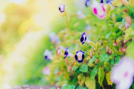 Colorful Flowers of crimson antirrhinum (snapdragon) flower at doi Tung,Chiang Rai.