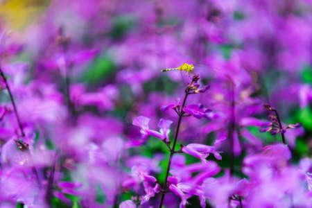 snapdragon: Colorful Flowers of crimson antirrhinum (snapdragon) flower at doi Tung,Chiang Rai.