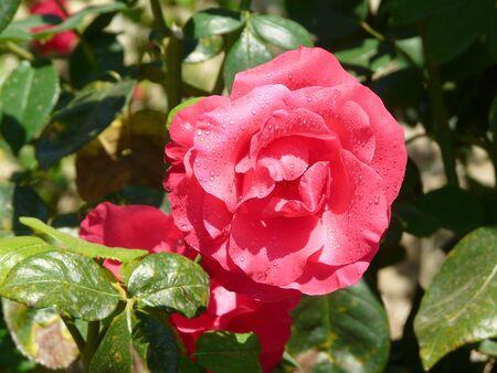 Red Tea Rose photo
