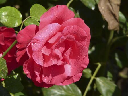 Red Tea Rose with dew photo