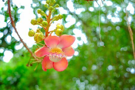 Sal tree. flower Stock Photo