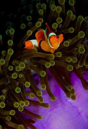 looking into camera: Falso clownfish (Amphiprion ocularis) in anemone, esaminando la fotocamera, presa a Wakatobi, Indonesia
