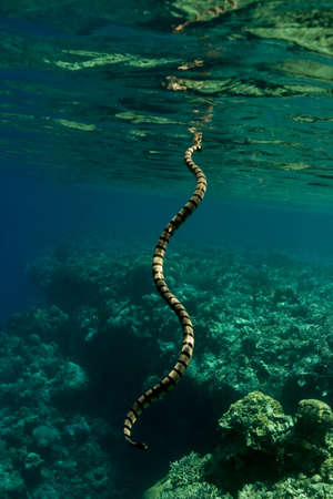 sea snake: Banded sea krait (Laticauda colubrina) sea snake breathing at the surface. Taken in the Wakatobi, Indonesia.