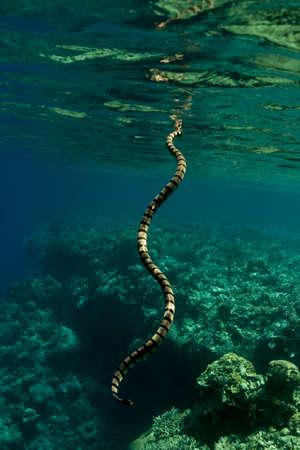 Banded sea krait (Laticauda colubrina) sea snake breathing at the surface. Taken in the Wakatobi, Indonesia. Stock Photo - 8931985