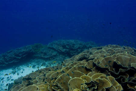 indo: Foliose coral bed on a reef slope, looking into the blue. Taken in the Wakatobi, Indonesia.