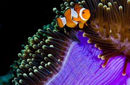 percula: Clown anemonefish (Amphiprion percula) in a purple anemone. Taken in the Wakatobi, Indonesia