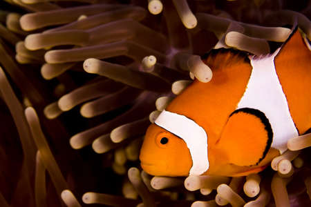 Clown anemonefish (Amphiprion percula) swimming across the shot in an anemone. Taken in the Wakatobi, Indonesia Stock Photo - 8932271