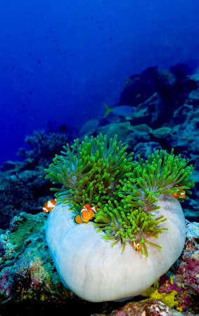 indopacific: Family of False clown anemonefish (Amphiprion ocellaris) hiding in a semi closed anemone. Taken in the Wakatobi, Indonesia.
