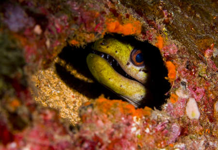 eyes cave: Fimbriated moray eel (Gymnothorax fimbriatus) peering out of a hole in an artificial reef with a shadow behind. Taken in Bali, Indonesia.