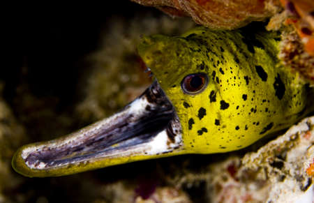 Face of a fimbriated moray eel (Gymnothorax fimbriatus) with gaping jaw showing teeth. Taken in the Wakatobi, Indonesia. Stock Photo - 8934183