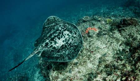 taeniura: Raggio di barriera corallina gigante (Taeniura melanospilos) nuoto lungo una barriera corallina. Preso a Bali, in Indonesia. Archivio Fotografico