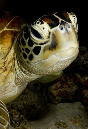 chelonia: Face of a Green turtle (Chelonia mydas) resting in the coral reef. Taken in Sipidan, Borneo, Malaysia.