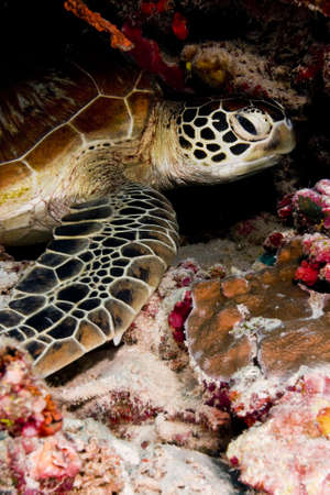 Green turtle (Chelonia mydas) resting in the coral reef. Taken in Sipidan, Borneo, Malaysia. photo
