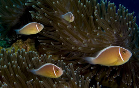 pink anemonefish: Four pink anemonefish (Amphiprion perideraion) in an anemone. Taken in the Wakatobi, Indonesia