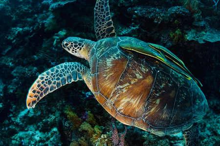 chelonia: Green turtle (Chelonia mydas) with two yellow remoras (Echeneidae) swimming over a coral reef. Taken in the Wakatobi, Indonesia. Stock Photo