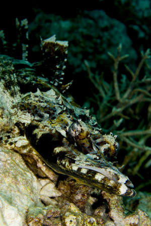 flathead: Tentacled flathead (Papilloculiceps longiceps), also known as an indian ocean crocodilefish, camouflaged on a coral reef with dorsal fin extended. Taken in the Wakatobi, Indonesia.