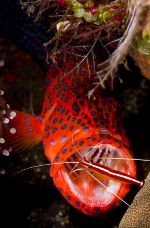 indo pacific: Leopard coralgrouper (Plectropomus leopardus) hiding in a coral reef with a cleaner shrimp in its mouth. Taken at Tulumben, Bali, Indonesia.
