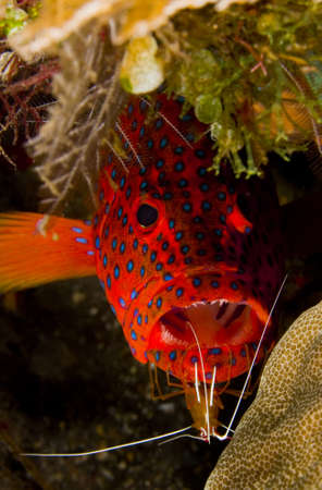 marinelife: Leopard coralgrouper (Plectropomus leopardus) hiding in a coral reef with a cleaner shrimp on its chin. Taken at Tulumben, Bali, Indonesia.