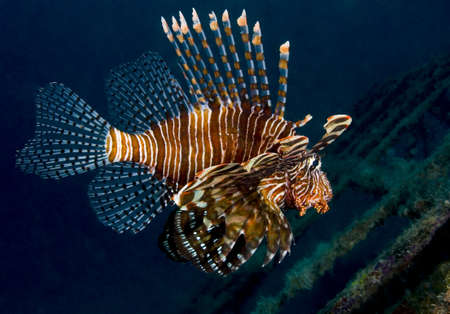 volitans: Lionfish (Pterois volitans), also known as a turkeyfish, shot from the side over an artificial reef. Taken in Kapalai, Borneo, Malaysia.