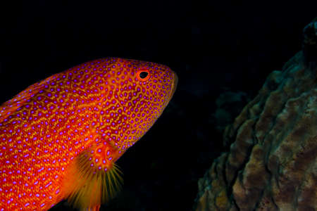 indo pacific: Lyretail grouper (Variola louti), red with electric blue markings, swimming across the shot. Taken at Tulumben, Bali, Indonesia. Stock Photo