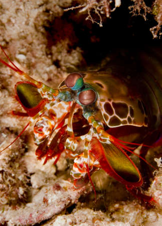 indo: Peacock mantis shrimp (Odontodactylus scyllarus) emerging from its burrow in the sand. Taken on Mabul, Borneo, Malaysia.