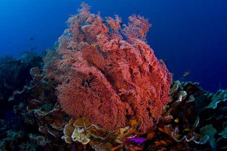 anthia: Pink gorgonian sea fan with anthia fish community. Taken in the Wakatobi, Indonesia