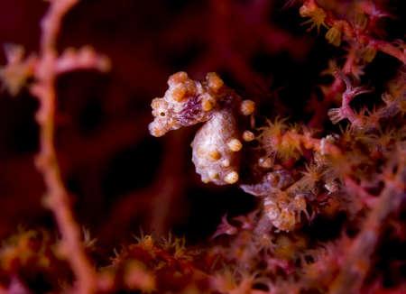 gorgonian: Pygmy seahorse (Hippocampus bargibanti) from the side in a Gorgonian sea fan. Taken in the Wakatobi, Indonesia.