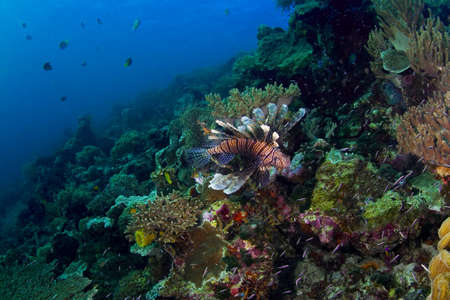 indo: Seascape of a busy coral reef with a prominent lionfish (Scorpaenidae). Taken in the Wakatobi, Indonesia. Stock Photo