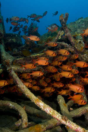 indopacific: Shoal of soldierfish (Holocentridae) on an artificial reef. Taken in Mabul, Borneo, Malaysia.