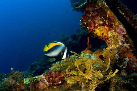 singular: Singular bannerfish (Heniochus singularis) on the coral encrusted wreck of the Liberty. Taken at Tulumben, Bali, Indonesia. Stock Photo