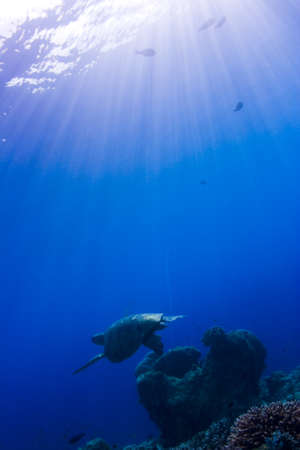indopacific: Turtle swimming over a coral reef under sun beams form the surface. Taken in Sipidan, Borneo, Malaysia Stock Photo