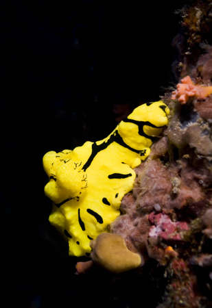 gastropoda: Yellow dorid nudibranch (Aegires minor) clinging to the reef wall. Taken in Sipidan, Borneo, Malaysia.