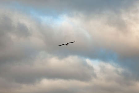 Seagull Flying in the Cloudy Sky