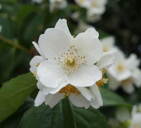 White Philadelphus coronarius (sweet mock-orange, English dogwood) flowers