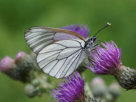 veined: Aporia crataegi, the black-veined white butterfly on a purple thistle flower.