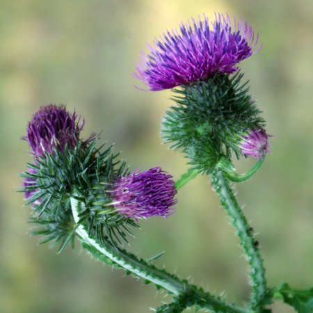 Pink flowers of a large burdock close up