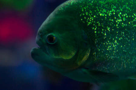 pygocentrus: a lot of colored lights in an aquarium with fish. piranha in the aquarium. fish with shiny scales. dangerous fish. bright light