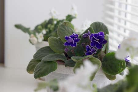 white violets in a pot. blue violet. flowers in pots on windowsills