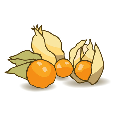 sepal: Made with orange elastic cape gooseberry in translucent tender box in the form of a flashlight fused sepals