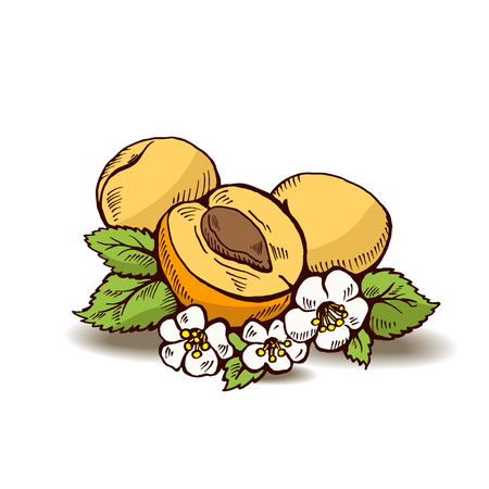 flower white: illustration  of apricots with flowers and leaves. One fruit is divided in half - visible bone.