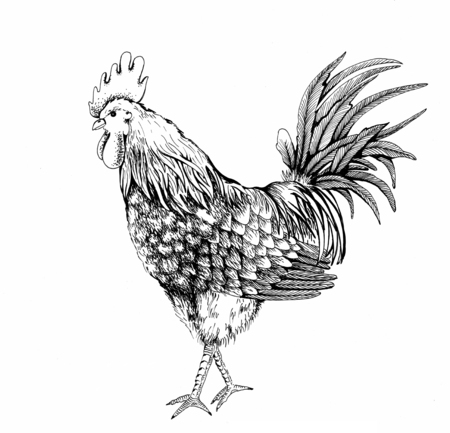 Vintage design handmade illustration with proud and beautiful rooster. Hand drawn black cock isolated on white background. Retro illustration for your design.