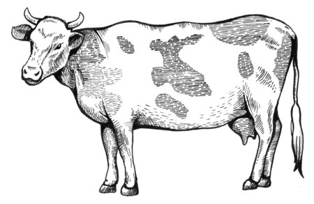 The spotted cow is standing. 版權商用圖片