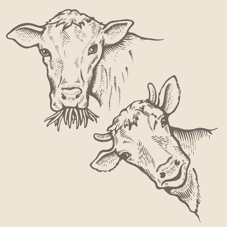 Portrait of Bulls. One bull chews grass and looks menacingly. Cow peeps out with a slight smile. Sketch of a friesian cow face. Vector illustration