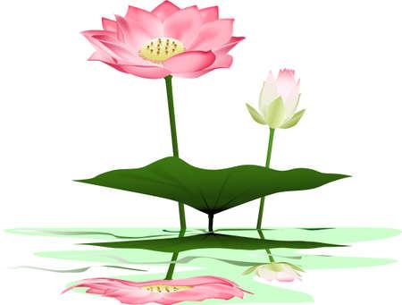 lotus leaf: Lotus illustration Illustration