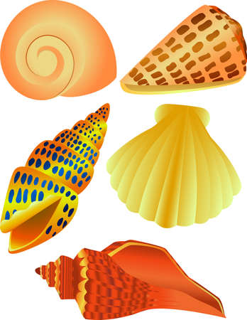 sea creatures: Sea shell Illustration