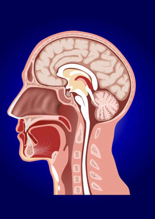 정면: 인간의 머리 해부학 일러스트
