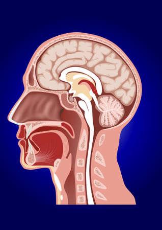 sistema nervioso central: Cabeza de anatom�a humana