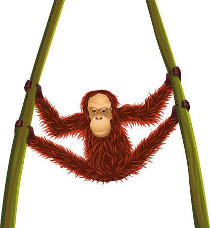 orangutang: Orangutan hanging time